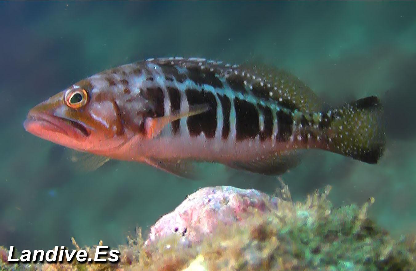 Atlas fauna marina de Canarias - Peces oseos - LANDIVE.ES
