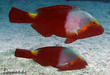 Atlas Fauna Marina De Canarias Peces Oseos Landivees