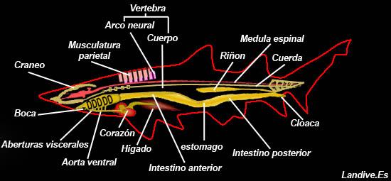 Morfologia y anatomia de los peces cartilaginosos - LANDIVE.ES